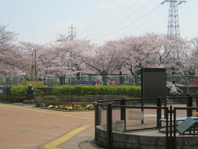 Photograph of cherry blossoms to see from animal contact corner